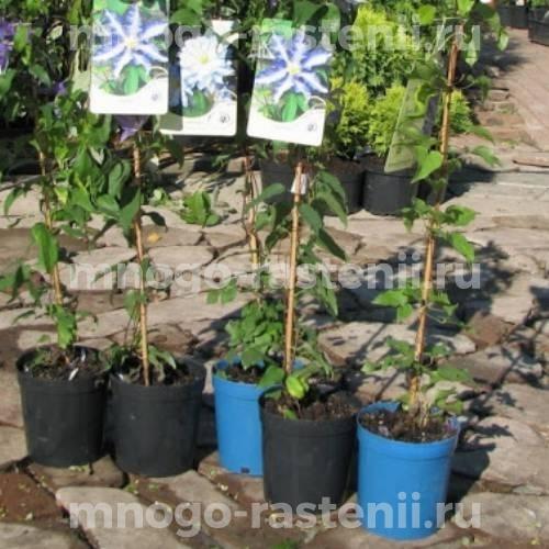 Клематис крупноцветковый Вайлдфаер