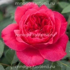 Роза Рубан Руж
