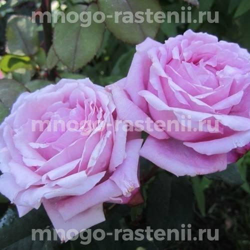 Роза Дитер Мюллер