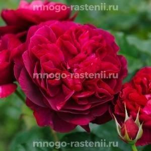 Роза Дарси Басселл