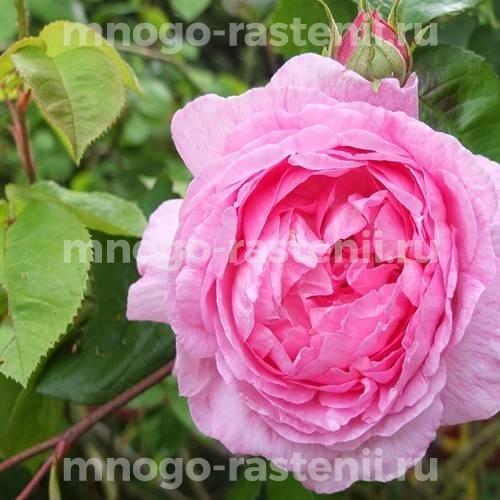 Роза Констанс спрей