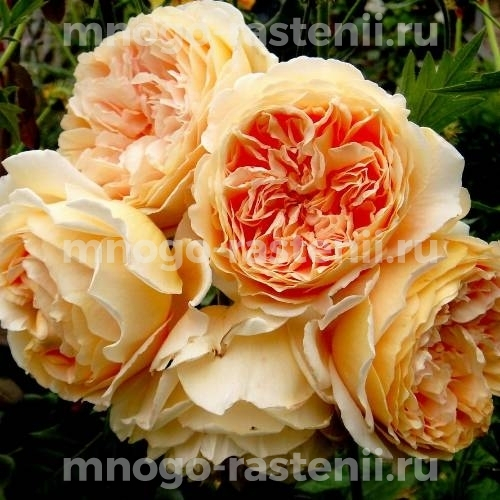 Роза Принцесса Маргаретт