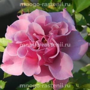 Роза Санта-Моника