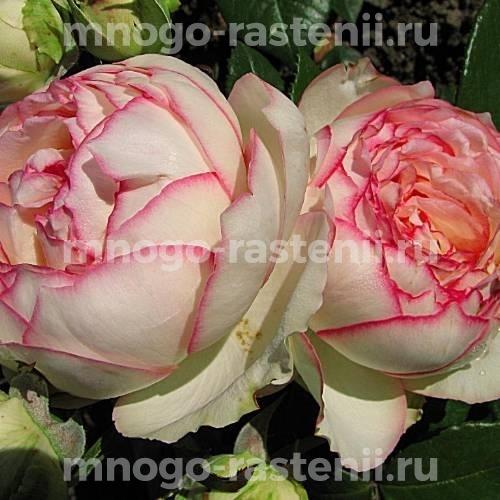 Роза Бидермайер