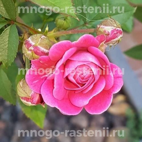 Роза Лавандер Джуэл