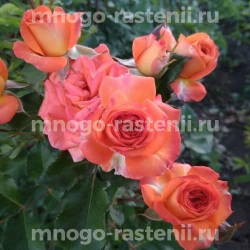 Роза Лос-Анджелес