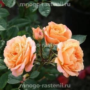 Роза Клементина