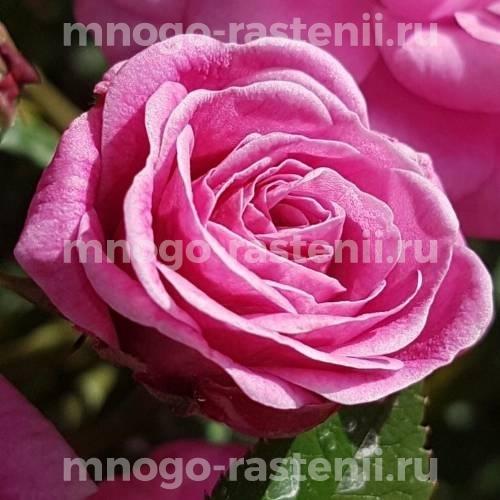 Роза Джевел