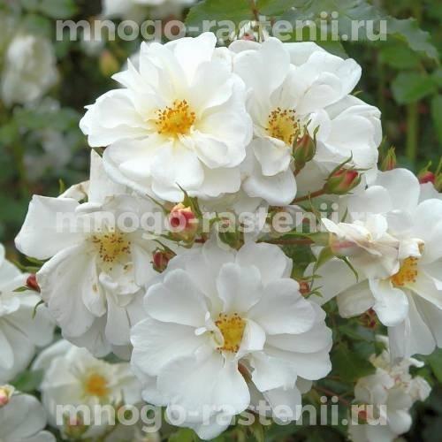 Роза Пур Туа