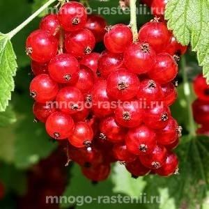 Смородина красная Розетта (Rosetta)