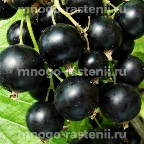 Смородина черная Зуша