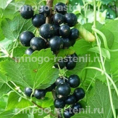 Смородина черная Орловская серенада
