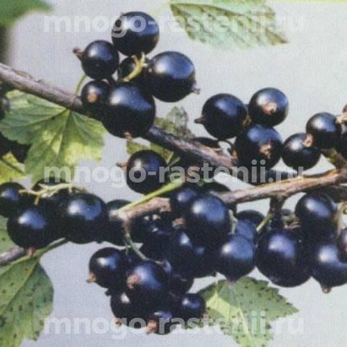 Смородина черная Деликатес