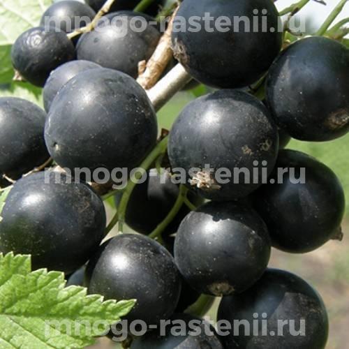 Смородина черная Зеленая дымка