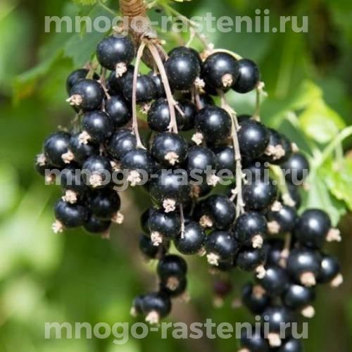 Смородина черная Орловский вальс