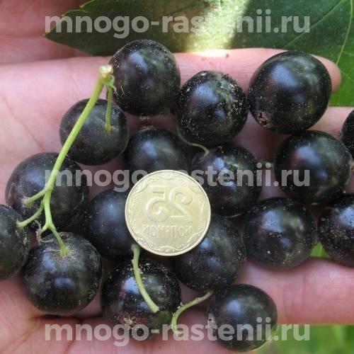 Смородина черная Тамерлан