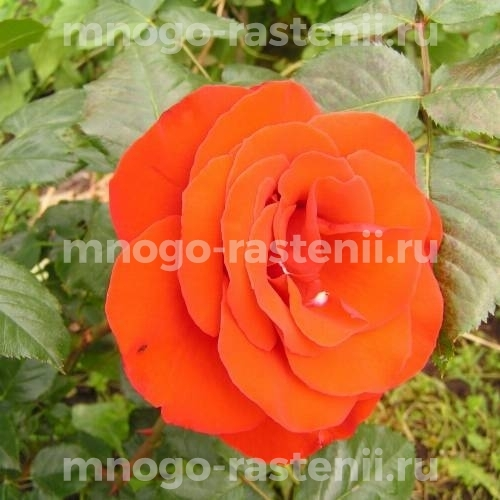 Роза Хорус