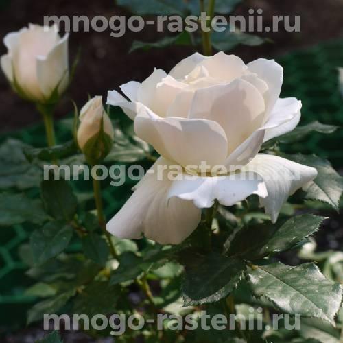 Роза Эдельвейс
