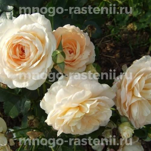 Роза Мария Антуанетта