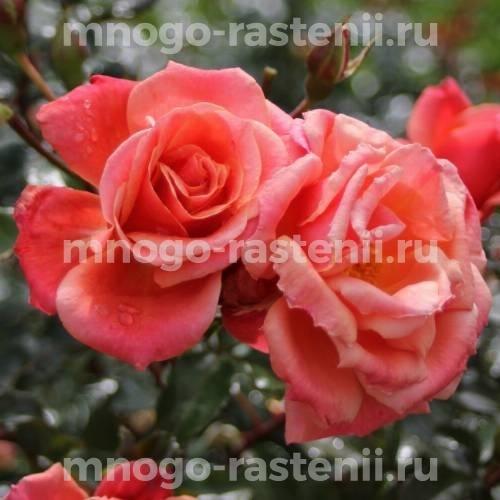 Роза Мелюзина