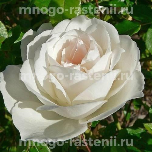 Роза Вайт Валей
