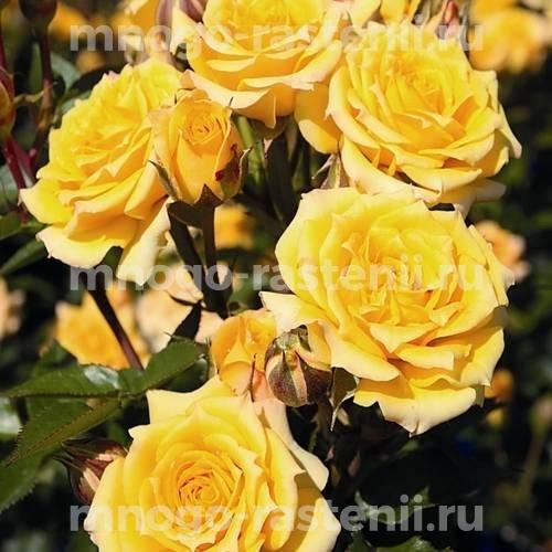 Роза Алголд