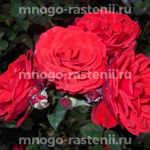 Роза Алотрия