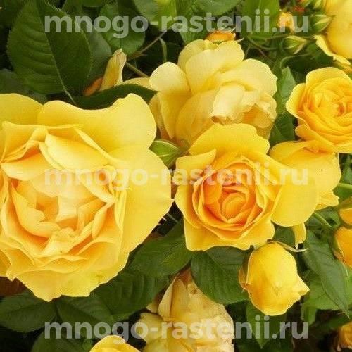 Роза Голден Веддинг