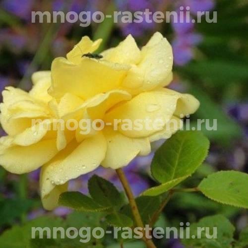 Роза Гарден Принцесс