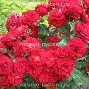 Роза Европеана