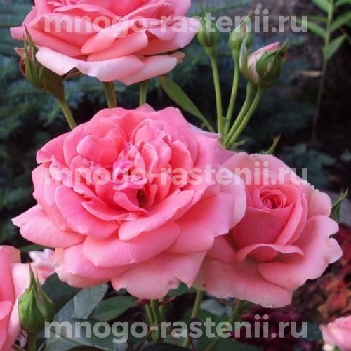 Роза Кимоно