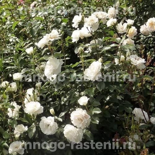 Роза Кристалперл