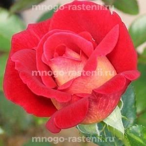 Роза Кэп Хорн
