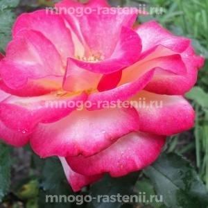 Роза Лео Ферри
