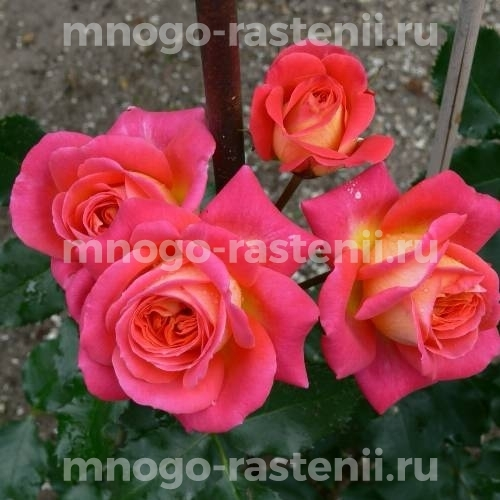 Роза Мидсаммэ