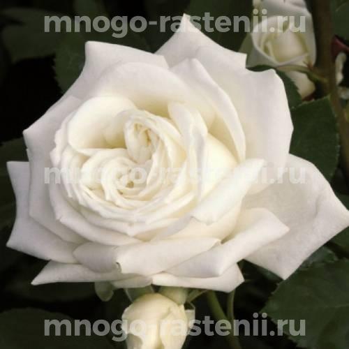 Роза Сноувайт