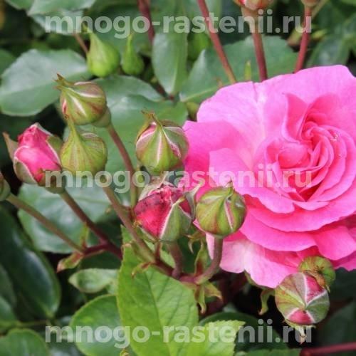 Роза Том Том