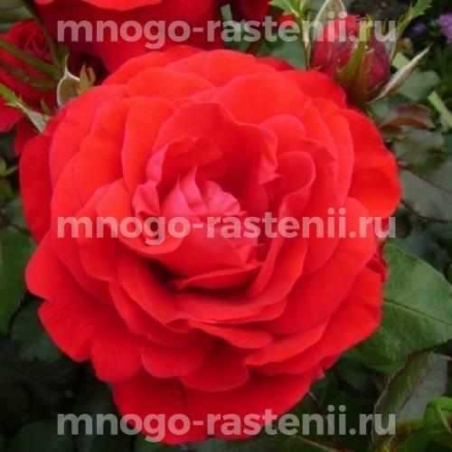 Роза Холстайн