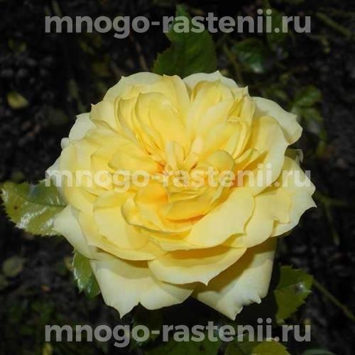 Роза Ян Спек