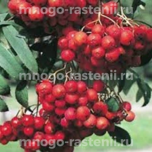 Рябина красная Моравская