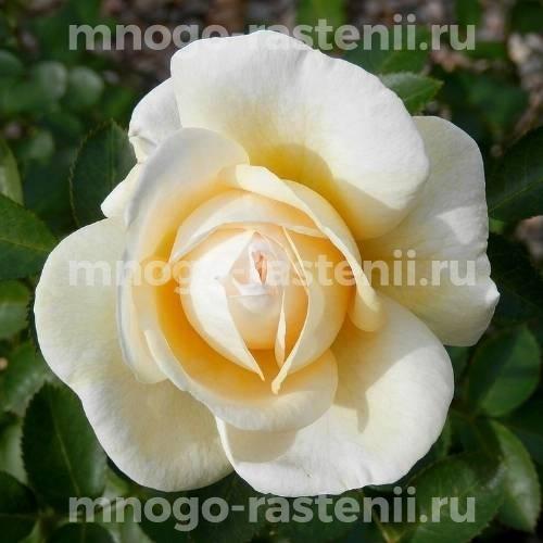 Роза Ж.П. Коннел