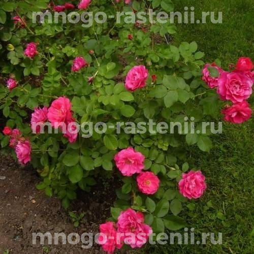 Роза Джордж Ванкувер
