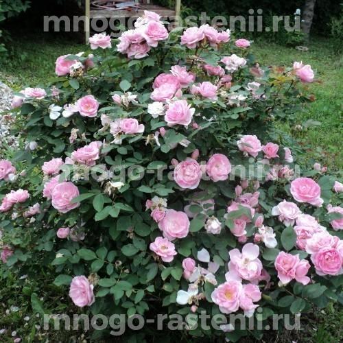 Роза Джон Девис