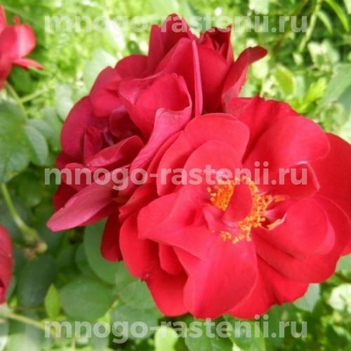 Роза Хансаланд