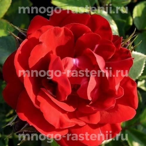 Роза Хоуп оф Хьюманити