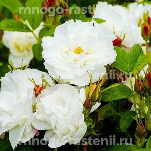 Роза Луиза Багнет