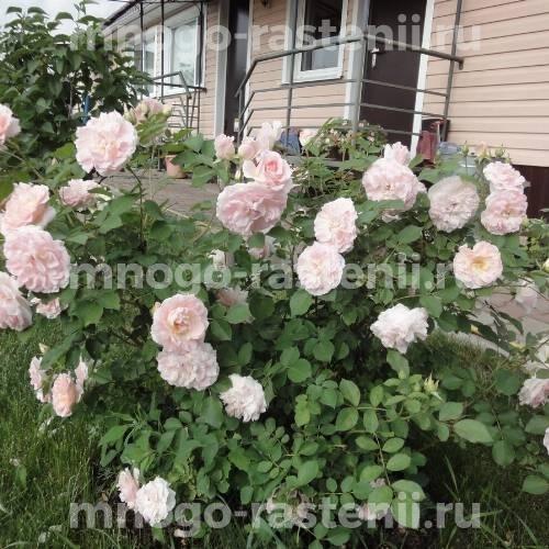 Роза Модэн Блаш