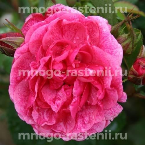 Роза Модэн Руби
