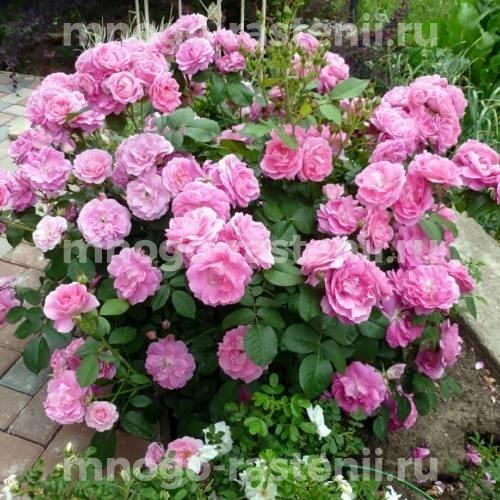Роза Моден Сентенниал