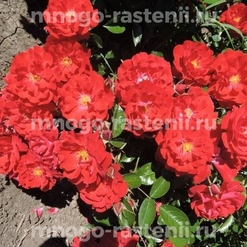 Роза Аустриана